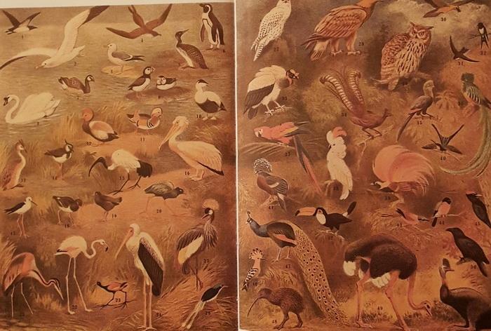 В.А. Ватагин. Иллюстрация к статье «Птицы» в Малой Советской энциклопедии 1947 г.